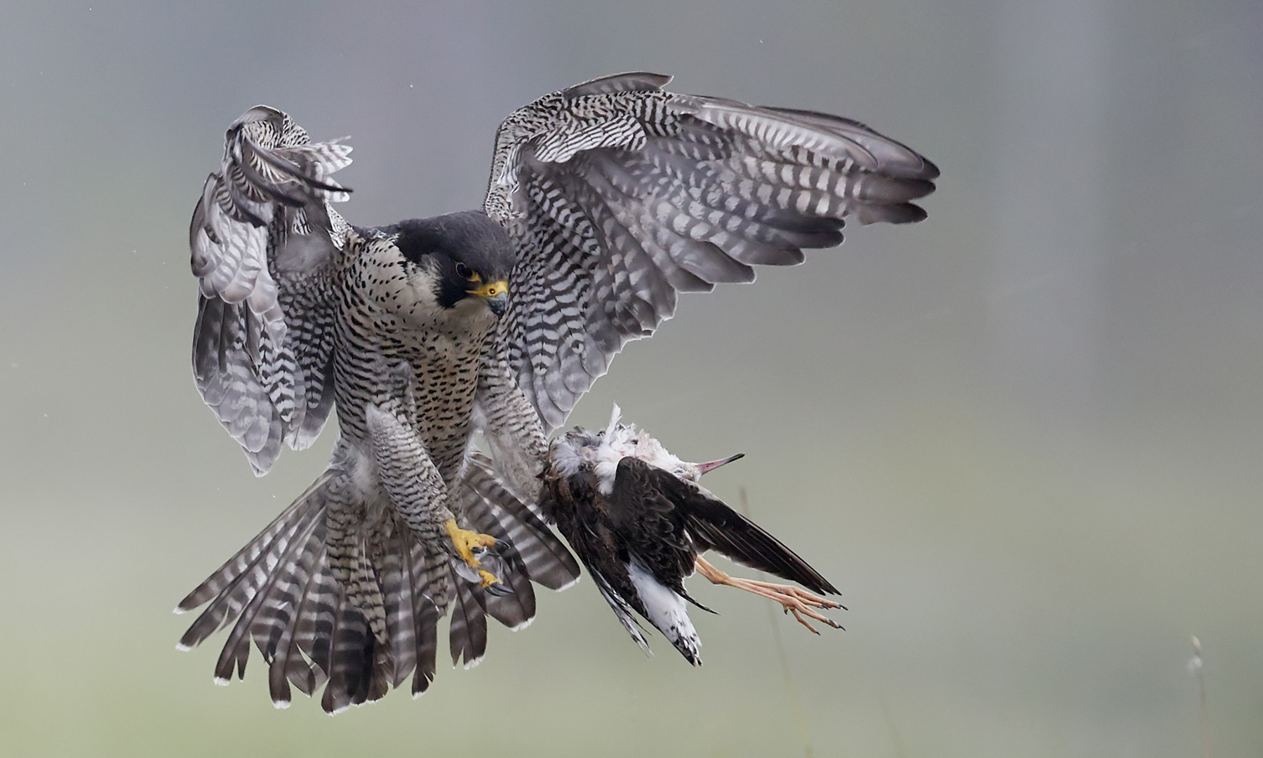 Peregrine (Falco peregrinus) and Ruff (Philomachus pugnax) Vaala Finland June 2016