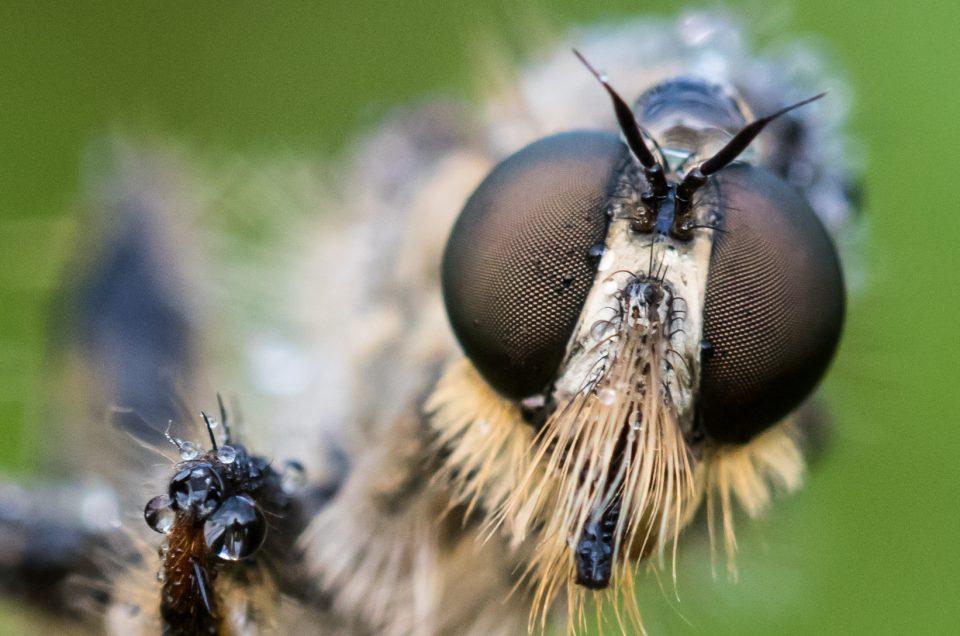 Raubfliegen und andere Insekten 2019